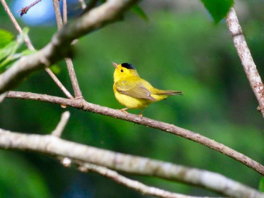Serenaded By Wilson's Warblers