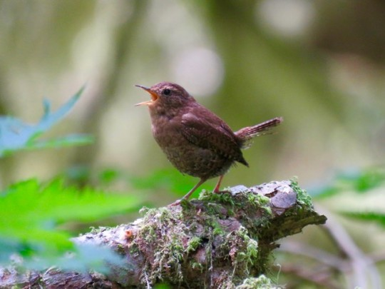 Serenaded By A Pacific Wren