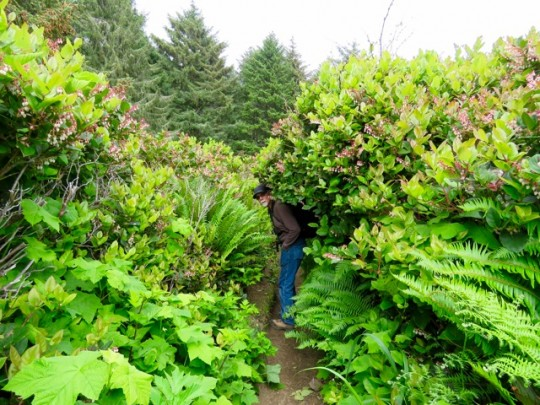 The Trail Is A Bit Overgrown With Salal