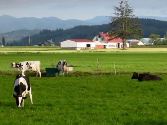 Tillamook Dairy Cows