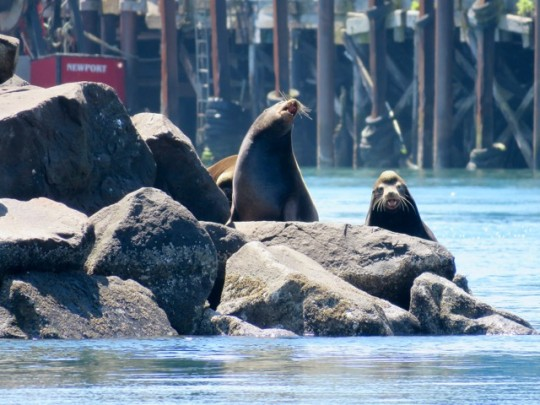 Sea Lions On The Jetty