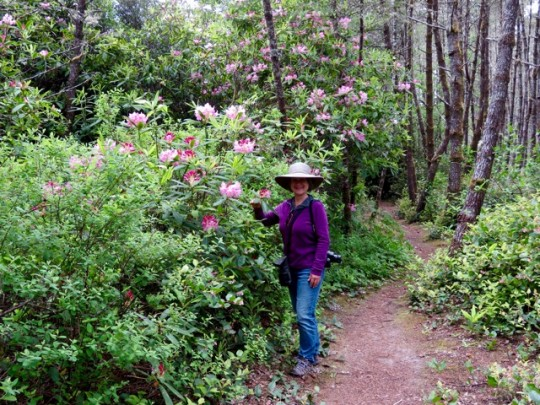 Hiking In A Forest Of Rhododendrons