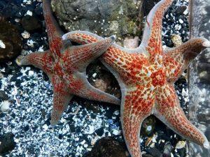 Leather Sea Stars