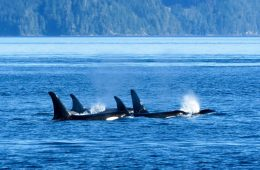 Telegraph Cove, BC: So Many Whales!